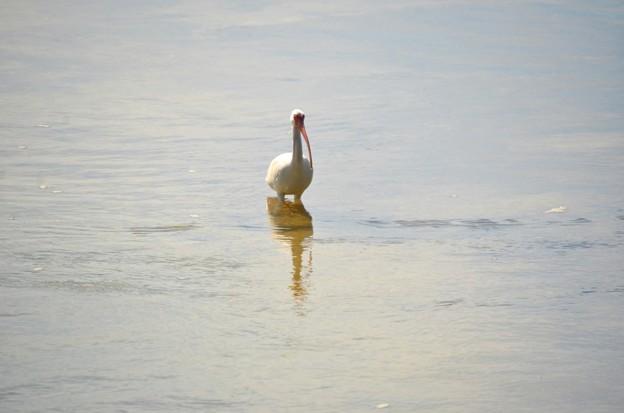 Lone White Ibis 2-10-21