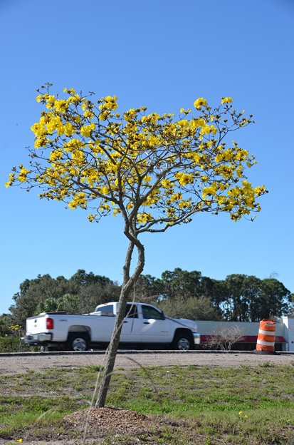 a Golden Trumpet Tree and a Chevy 2-20-21