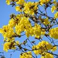 Golden Trumpet Tree I 2-20-21