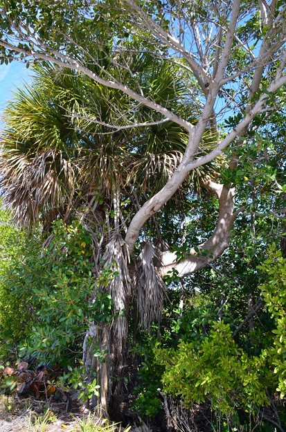 Florida Strangler Fig strangling Cabbage Palm