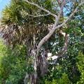 Florida Strangler Fig strangling Cabbage Palm