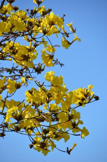 Golden Trumpet Tree II 2-20-21
