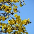 Photos: Golden Trumpet Tree II 2-20-21