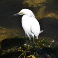Photos: Snowy Egret No2 2-10-21