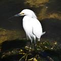 Snowy Egret No2 2-10-21