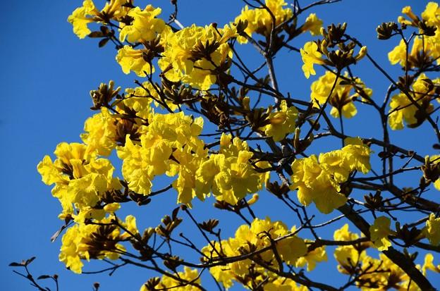 Golden Trumpet Tree III 2-20-21