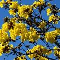 Photos: Golden Trumpet Tree III 2-20-21