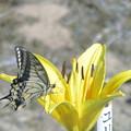 Photos: 百合と蝶
