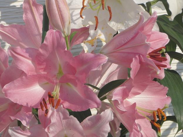Photos: 百合の花