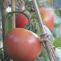 Photos: 完熟トマト
