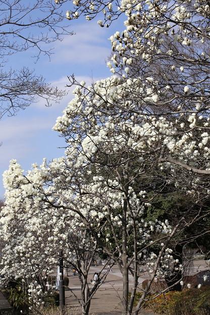 相模原公園の春