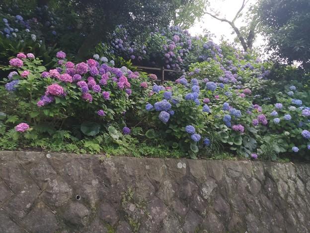 6/24 逗子 アジサイ公園