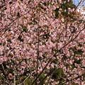 Photos: GW東北 鬼頭の桜