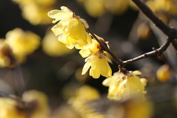 北公園の蝋梅