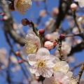 円行公園の梅