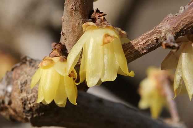 青梅市 梅の公園の蝋梅