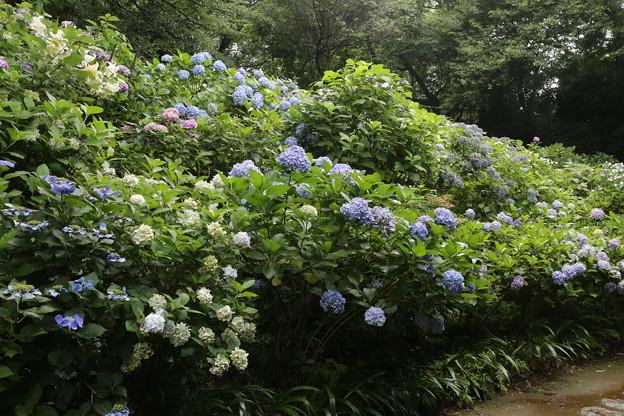 川崎 妙楽寺の紫陽花