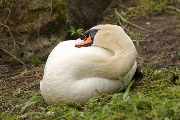 河口湖の白鳥 お昼寝