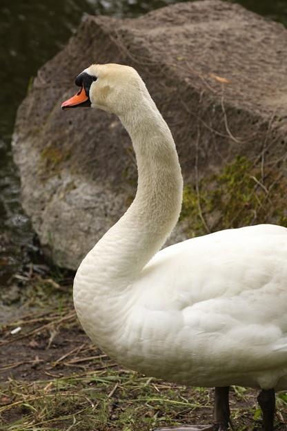 河口湖の白鳥