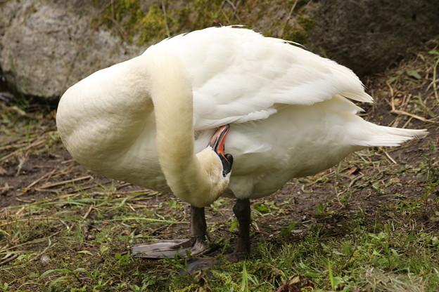 河口湖の白鳥 毛繕い