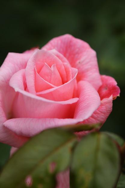 生田バラ園の秋薔薇