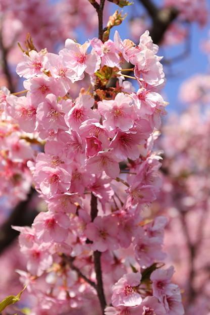 松田町 河津桜