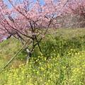 Photos: 松田町 河津桜