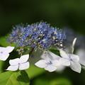 白い額 美しい花