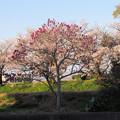 写真: よく晴れた散歩道のシモクレンと桜