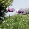 写真: 桜並木とポピー