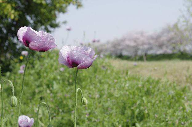 写真: よく晴れた散歩道の桜とポピー