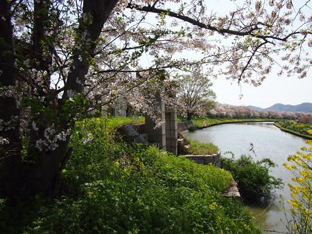 ムルデルの樋門の桜
