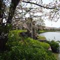 写真: ムルデルの樋門の桜