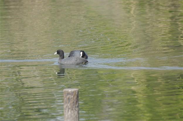 写真: 自然環境体験公園のオオバン