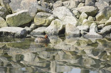 自然環境体験公園のカイツブリ