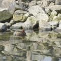写真: 自然環境体験公園のカイツブリ