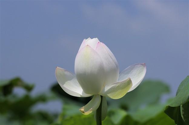 蓮根田のハスの花(2018)