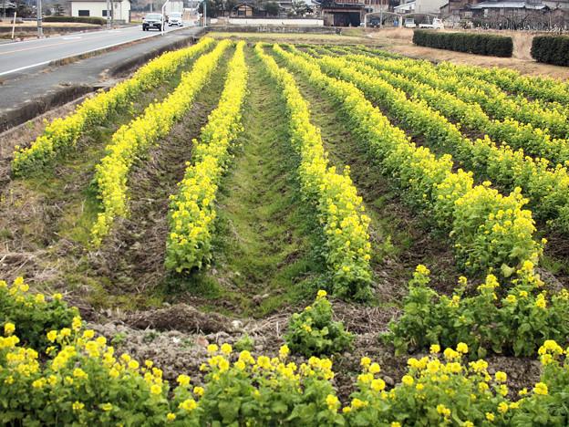 吉備路に咲く菜の花