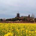 Photos: 菜の花と備中国分寺五重塔