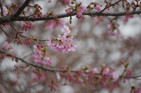 咲き始めた河津桜(2019阿部池)