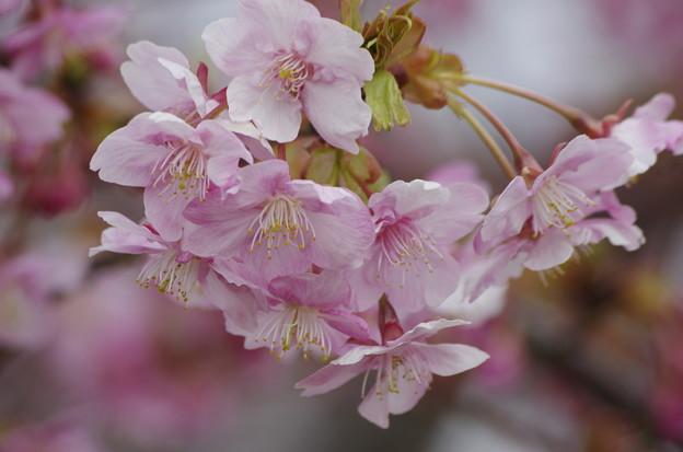 Photos: 咲き始めた河津桜(2019阿部池)