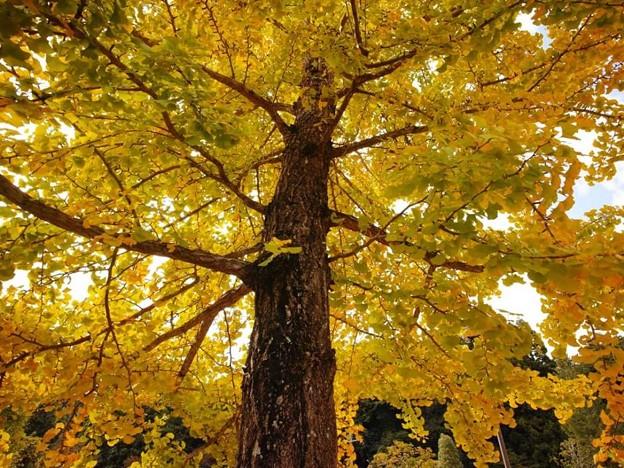 勝楽山 高蔵寺 銀杏の木