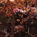 Photos: 秋 彩飾