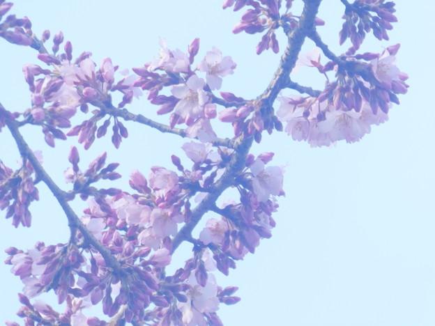 開花 エドヒガン