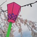 Photos: 桜日和の白石城  其の参