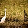 Photos: 稲穂と白鷺