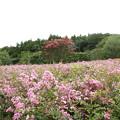 Photos: 百日紅の楽園