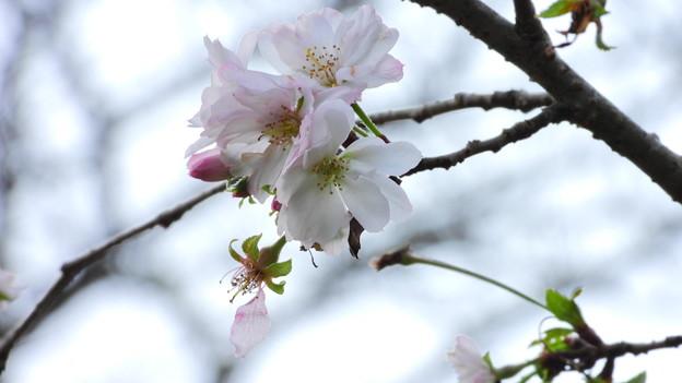 白石城の十月桜