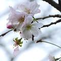 Photos: 白石城の十月桜