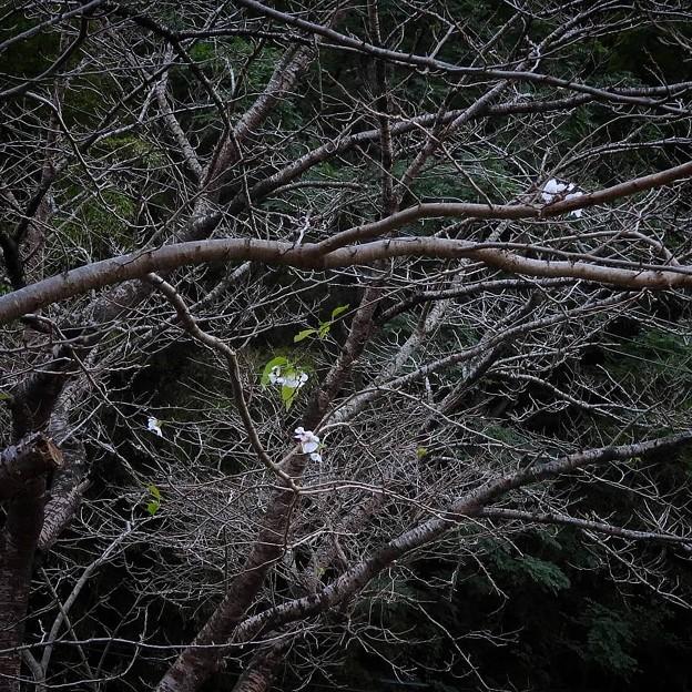 馬牛沼の十月桜